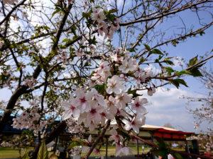 2018年桜開花状況