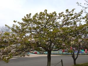 桜-2018年4月4日