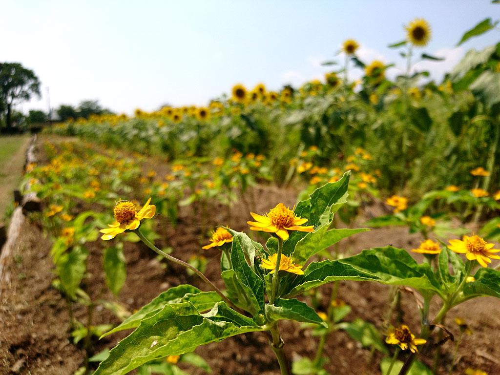 ヒマワリと他の花