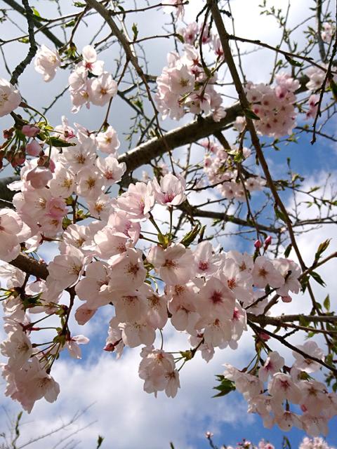 桜(平成31年3月31日現在)
