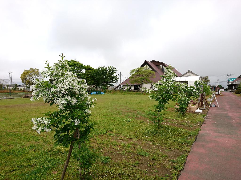 ヒトツバタゴ(ナンジャモンジャ)