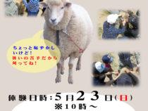 ヒツジの毛刈り体験【5/23】